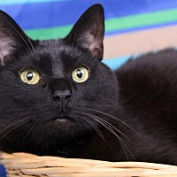 Adopt A Pet :: Taurus-FIV+ - Sterling Heights, MI