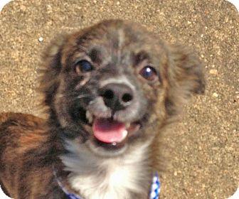 Chihuahua Mix Puppy for adoption in Preston, Connecticut - Freddie
