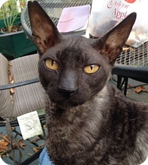Cornish Rex Cat for adoption in Fredericksburg, Virginia - Keyko