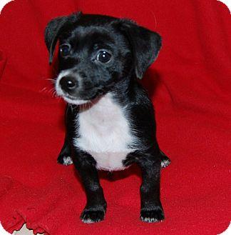Yorkie, Yorkshire Terrier/Dachshund Mix Puppy for adoption in Newark, Delaware - Rudy