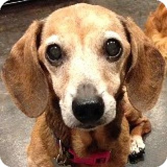 Dachshund Dog for adoption in Houston, Texas - Lilah L'Sat