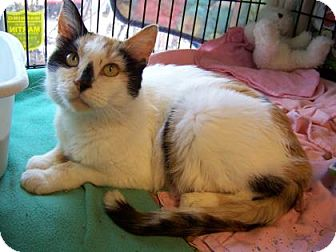 Domestic Shorthair Cat for adoption in Westville, Indiana - Vivian