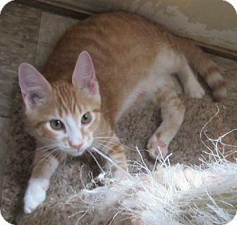 Domestic Shorthair Kitten for adoption in Glenwood, Minnesota - Marvin