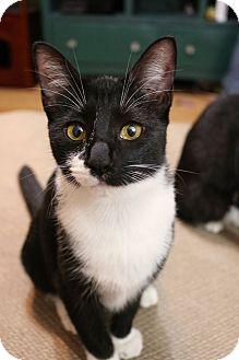 Domestic Shorthair Cat for adoption in Greensboro, Georgia - Mia
