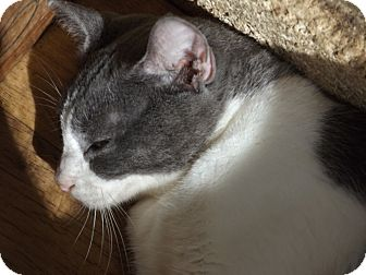 Domestic Shorthair Cat for adoption in Floral City, Florida - Sable