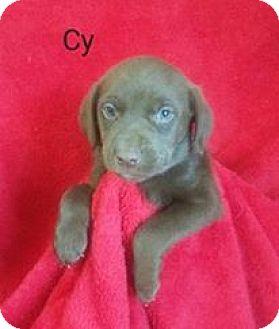 Labrador Retriever/Spaniel (Unknown Type) Mix Puppy for adoption in Chester, Illinois - Cy