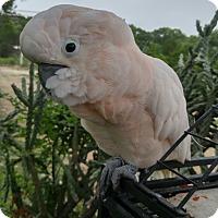 Adopt A Pet :: Soloman - Burleson, TX