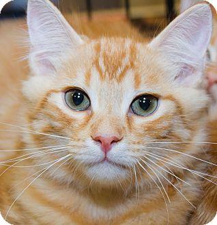 Domestic Mediumhair Kitten for adoption in Irvine, California - Waffles