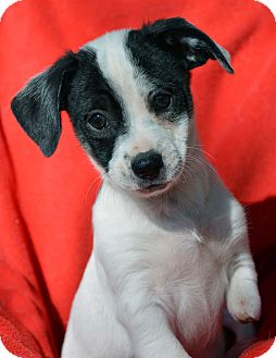 Jack Russell Terrier/Chihuahua Mix Puppy for adoption in Mountain Center, California - Nemo