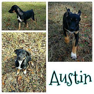 Feist Mix Puppy for adoption in Brunswick, Maine - Austin
