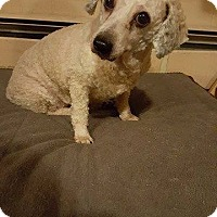 Poodle (Miniature) Mix Dog for adoption in Homer, New York - Pearl