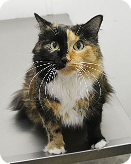 Domestic Longhair Cat for adoption in Springfield, Illinois - Mae