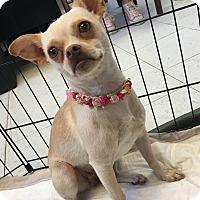 Adopt A Pet :: Cyndie - Visalia, CA