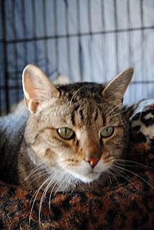Domestic Shorthair Cat for adoption in Greenville, Delaware - Charlie, Willow Grove PA