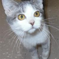 Domestic Shorthair/Domestic Shorthair Mix Cat for adoption in Waupaca, Wisconsin - Zippy