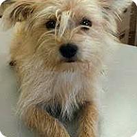 Adopt A Pet :: Dusty-ADOPTION PENDING - Boulder, CO