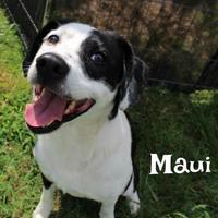 Adopt A Pet :: Maui - Melbourne, KY