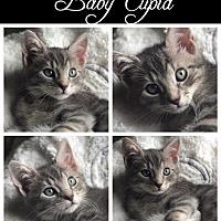 Adopt A Pet :: Cupid - Island Park, NY