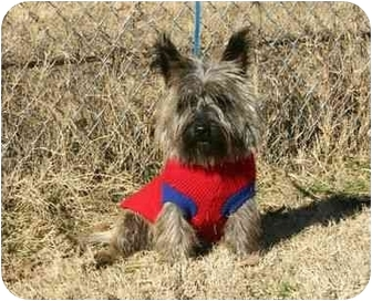 Cairn Terrier Dog for adoption in Muldrow, Oklahoma - Zachariah