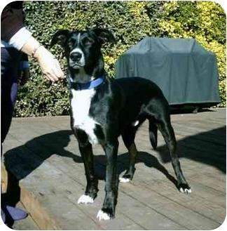 Border Collie/Labrador Retriever Mix Dog for adoption in Tracy, California - Sparkie