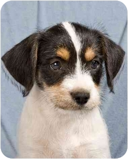 Terrier (Unknown Type, Small) Mix Puppy for adoption in Anna, Illinois - CARVER