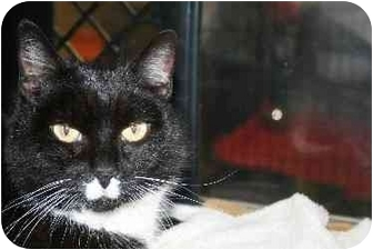 Domestic Shorthair Cat for adoption in Westbrook, Maine - Daisy