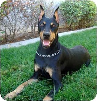 Doberman Pinscher Dog for adoption in Las Vegas, Nevada - Zsa Zsa