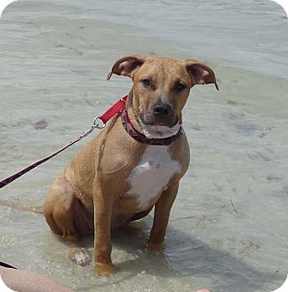 Black Mouth Cur/American Bulldog Mix Dog for adoption in Ft. Myers, Florida - Belle
