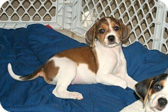 Foxhound/Beagle Mix Puppy for adoption in Minneola, Florida - Amber