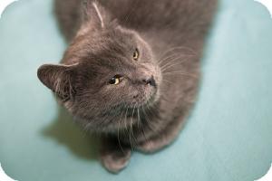 Domestic Shorthair Kitten for adoption in Brooklyn, New York - PATTY