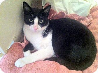 Domestic Shorthair Cat for adoption in Brooklyn, New York - Waldo