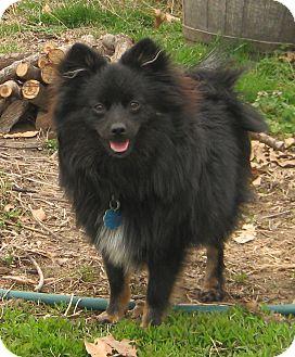 Pomeranian Puppy for adoption in Kansas City, Missouri - Chewey