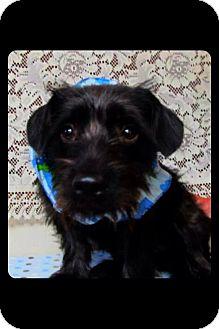 Schnauzer (Standard)/Dachshund Mix Dog for adoption in Longview, Texas - Scooter