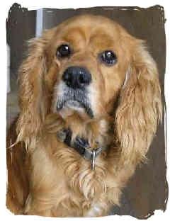 Cocker Spaniel Dog for adoption in San Diego, California - Tabasco
