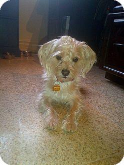 Bichon Frise/Lhasa Apso Mix Dog for adoption in Vaudreuil-Dorion, Quebec - Charlie