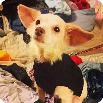 Chihuahua/Papillon Mix Dog for adoption in Knoxville, Tennessee - Winnie
