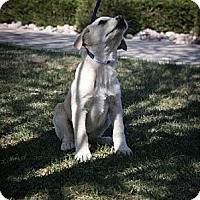 Adopt A Pet :: Mozart - Broomfield, CO