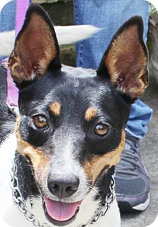 Manchester Terrier/Fox Terrier (Smooth) Mix Dog for adoption in Chapel Hill, North Carolina - Star