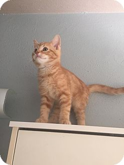 Domestic Shorthair Cat for adoption in Rockford, Illinois - Jacob