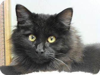 Domestic Longhair Kitten for adoption in Quincy, California - Bob