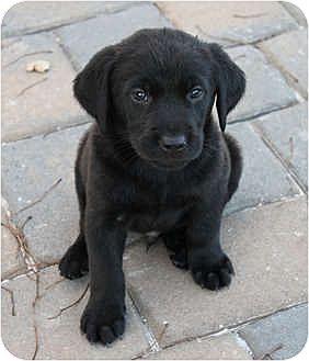 Labrador Retriever/Golden Retriever Mix Puppy for adoption in Auburn, California - Decoy