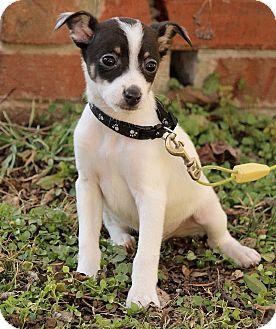 Rat Terrier Mix Puppy for adoption in Washington, D.C. - Alex