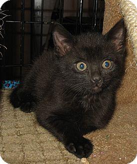 Domestic Shorthair Kitten for adoption in brewerton, New York - kittens