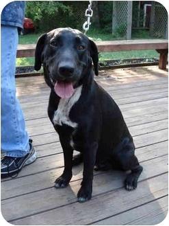 Labrador Retriever Mix Dog for adoption in Kingwood, Texas - Cooper2