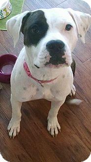 Boxer/Pit Bull Terrier Mix Dog for adoption in Boston, Massachusetts - Gypsy