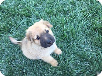Australian Shepherd/German Shepherd Dog Mix Puppy for adoption in Studio City, California - Tiger
