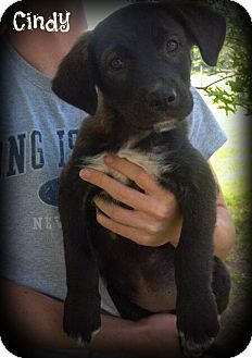 Labrador Retriever Mix Dog for adoption in Glastonbury, Connecticut - Cindy