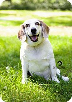 Beagle Dog for adoption in Freeport, Maine - Rover (Courtesy Post)
