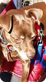 Miniature Pinscher Dog for adoption in Sacramento, California - Coco