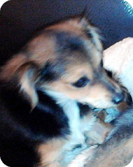 Pomeranian/Chihuahua Mix Puppy for adoption in Bloomington, Illinois - Foxie